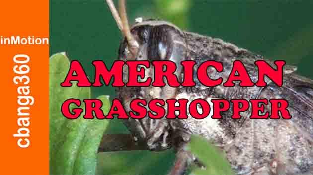 PERSISTENT AND STUBBORN AMERICAN GRASSHOPPER
