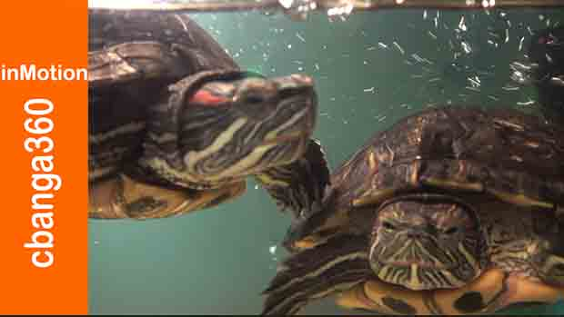 Watch Pepper and Cooper Friendly Turtle Housemates