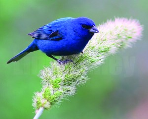 Indigo Bunting by Linda Alley