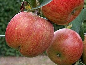 Uttwiler Spätlauber apple stem cell