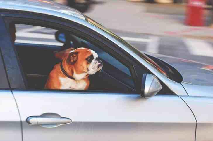 CBD Dog Health Dog Traveling by Car