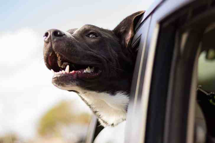 CBD Dog Health Pet Travel