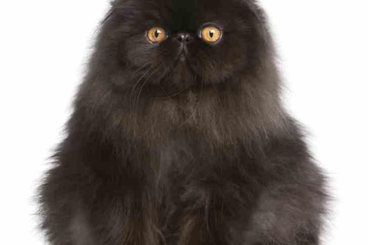 CBD Cat Health Black Fluffy Cat