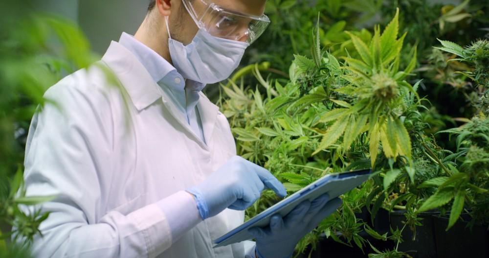 marihuanos zala smegenims