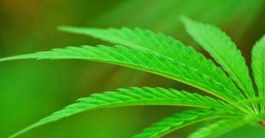 Cannabis CTE Athletes
