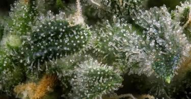 cbd terpenes