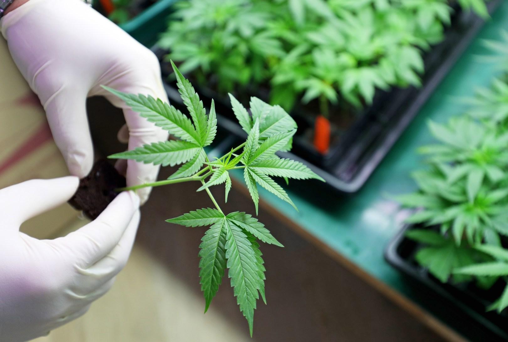 medical cannabis israel