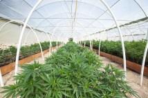 cannabis shortage