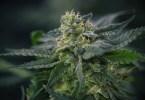portuguese cannabis