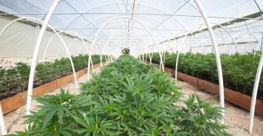 cannabis investors