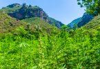 africa cannabis