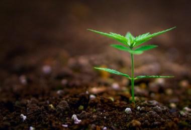 gmo cannabis