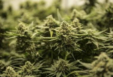 paraguay cannabis