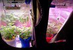cannabis self-cultivation