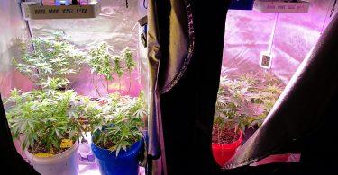 cannabis self-cultivation