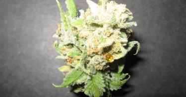 xylem sap cannabis