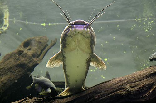 Catfish Looking at You (Used by permission.)