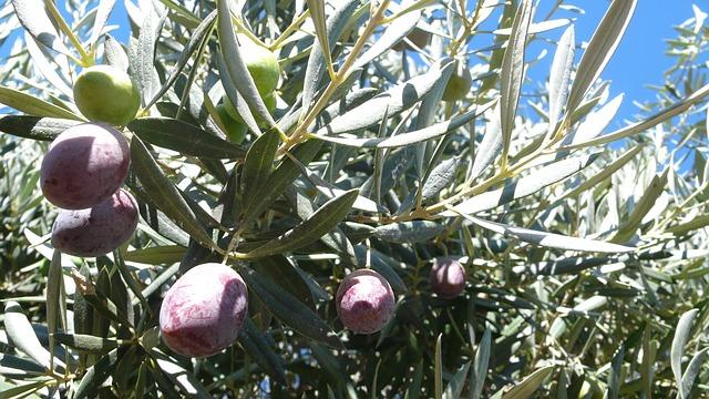 Aceitunas y olivos