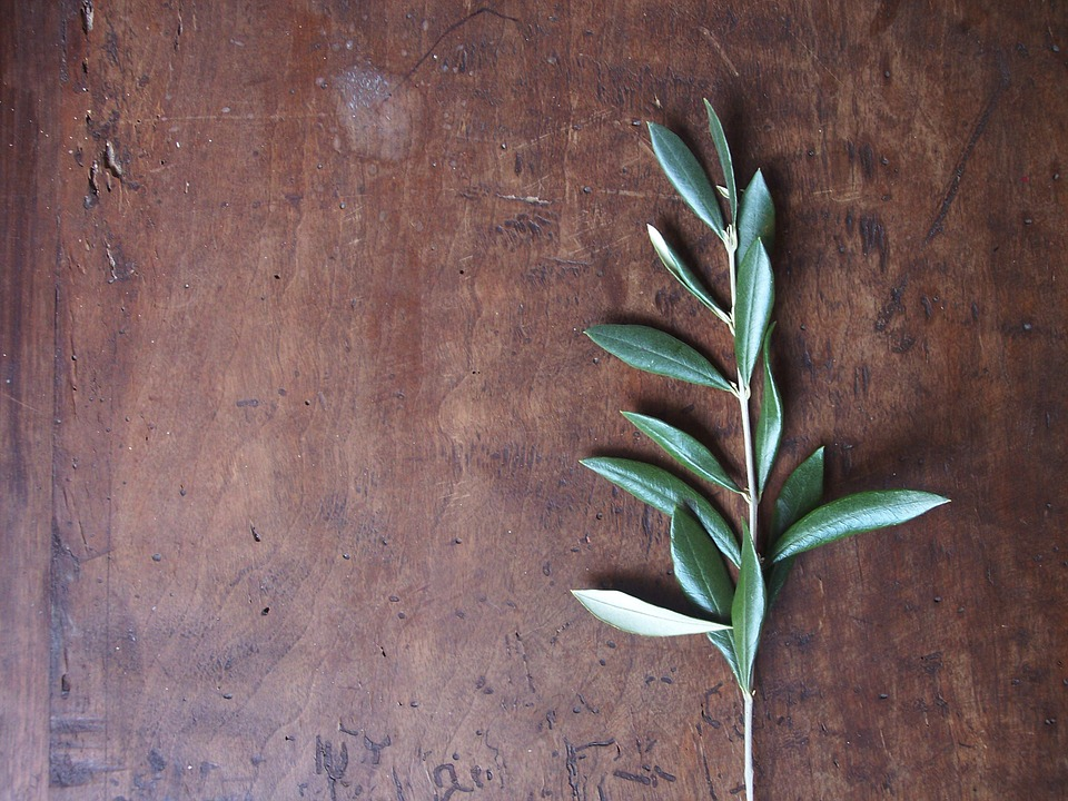 Hoja de olivo