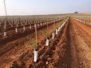 Una de las plantaciones de almendro realizadas este año por CBH,