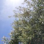 Principales variedades de olivos