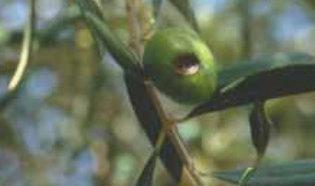 escudete del olivo
