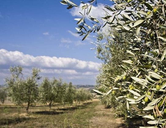 olivos hojiblanca
