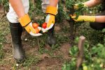 Avispa Velutina: Cuáles son los Riesgos para tus Cultivos
