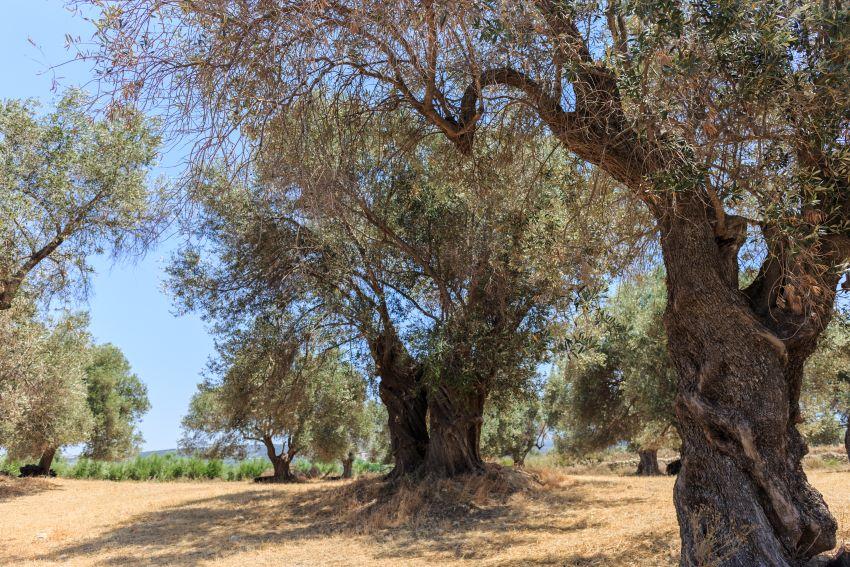 Injertar olivos: cuándo y cómo hacerlo