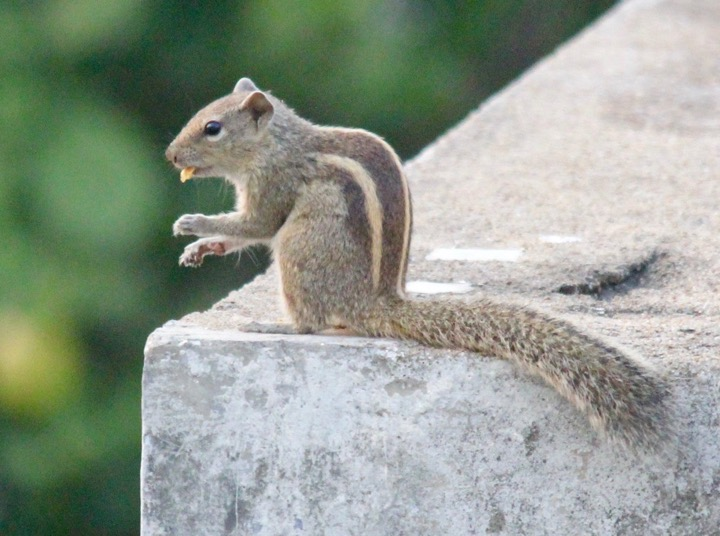 A Squirrel and his morsel of food.