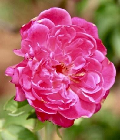 Pink (called Panneer Roja in Tamil)