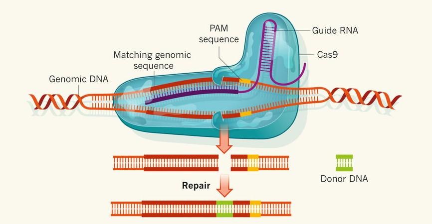 Tecnica CRISPR. Imagen de http://cbi.hzau.edu.cn