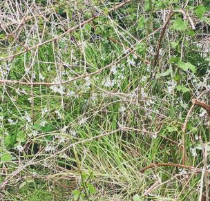 clumps of wild garlic