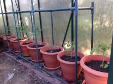 Tomaten2015_1