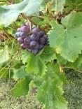 Trauben / Grapes / Raisins