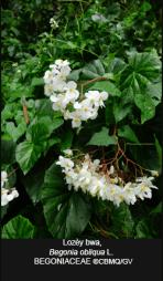 Begonia-obliqua