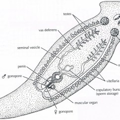 Earthworm Digestive System Diagram Vdsl2 Wiring Class Turbellaria Zoology Phyla