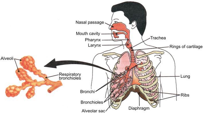 Human Ventilation System : Cbse th biology life processes respiration