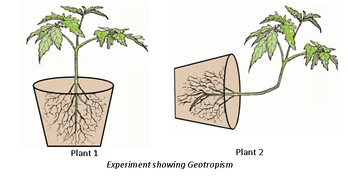 Control and Coordination in Plants Class 10