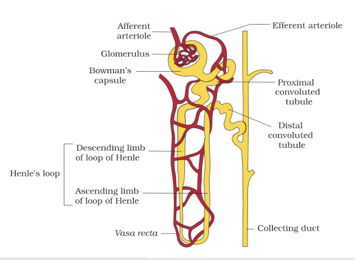 nephron diagram from a textbook dodge ram 1500 serpentine belt excretory products and their elimination ncert cbse resources of glomerulus renal tubules