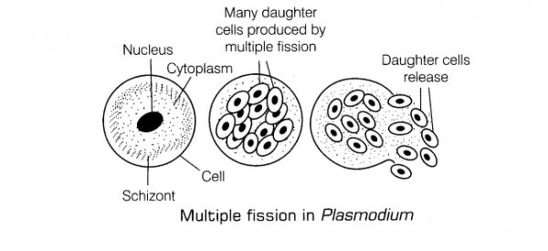 Multiple fission in asexual reproduction of the genetic information