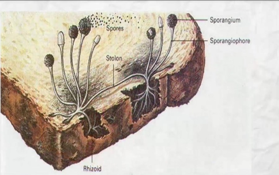 Spore formation 3
