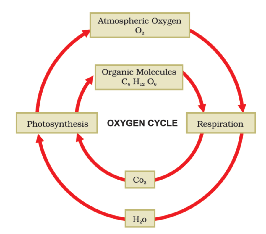 Oxygen Cycle in Nature