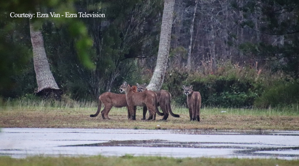 'Once In A Lifetime Event': Florida Man Spots 5 Elusive Florida Panthers In Single Day, 4 At The Same Time