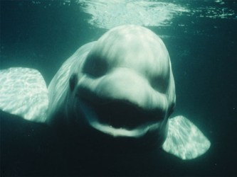 whale beluga talk could noc