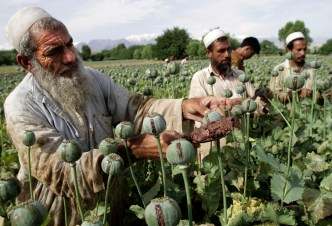 Image result for afghanistan poppy plants