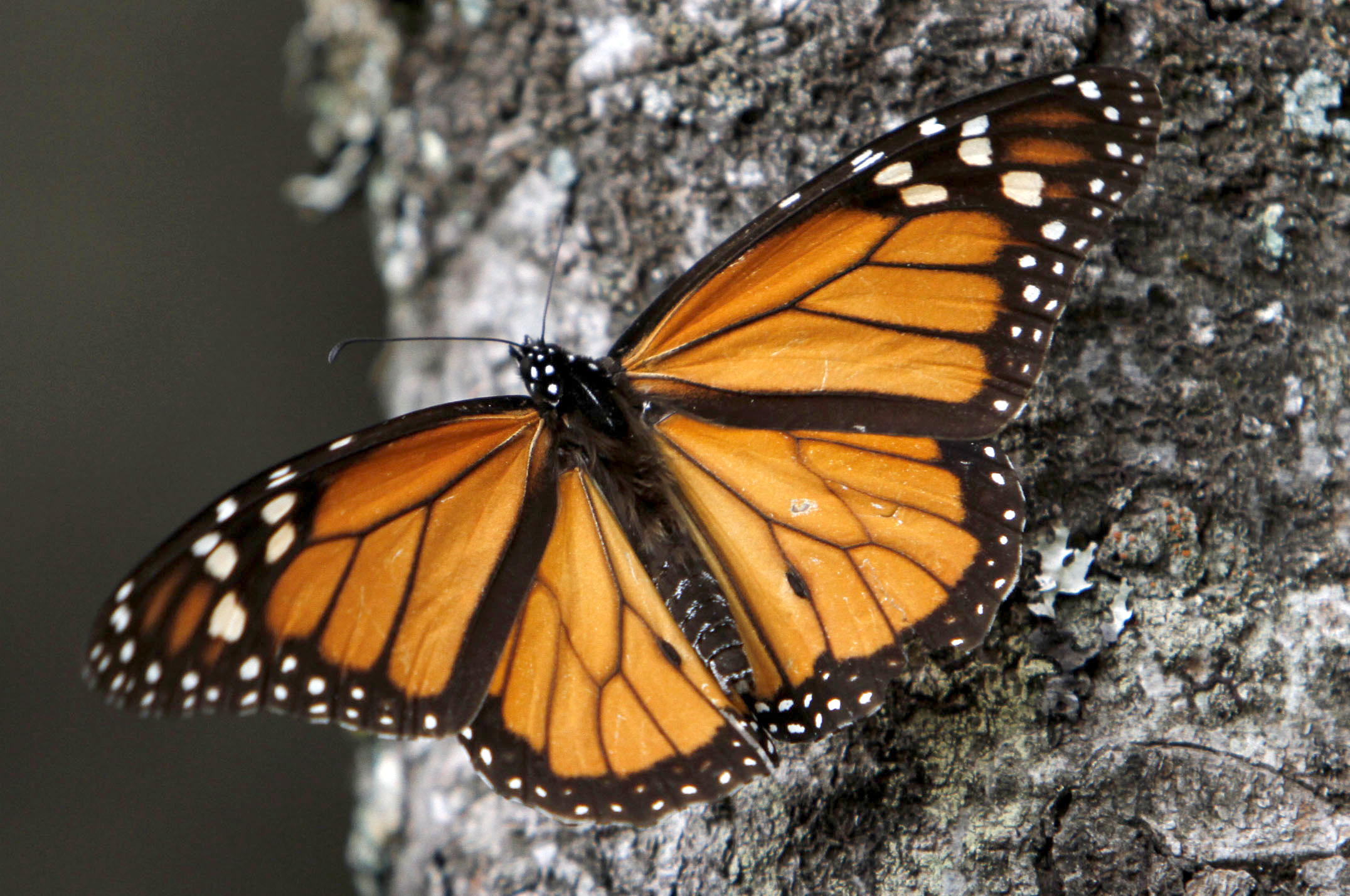 Monarch Butterflies Drop Migration May Disappear