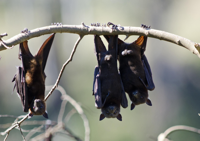 Bat soup blamed as deadly Ebola virus spreads - CBS News