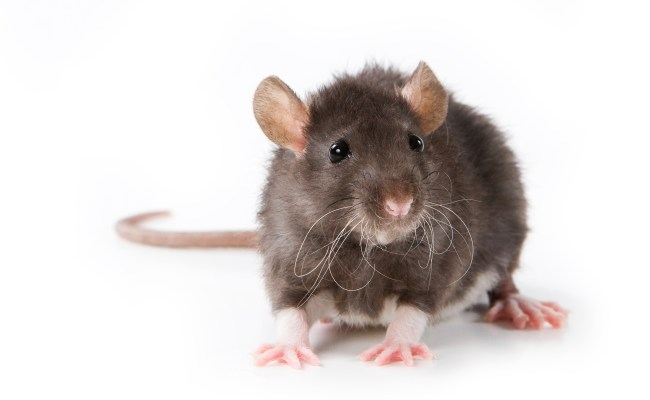 Scratch From Pet Rat Kills California Boy Cbs News