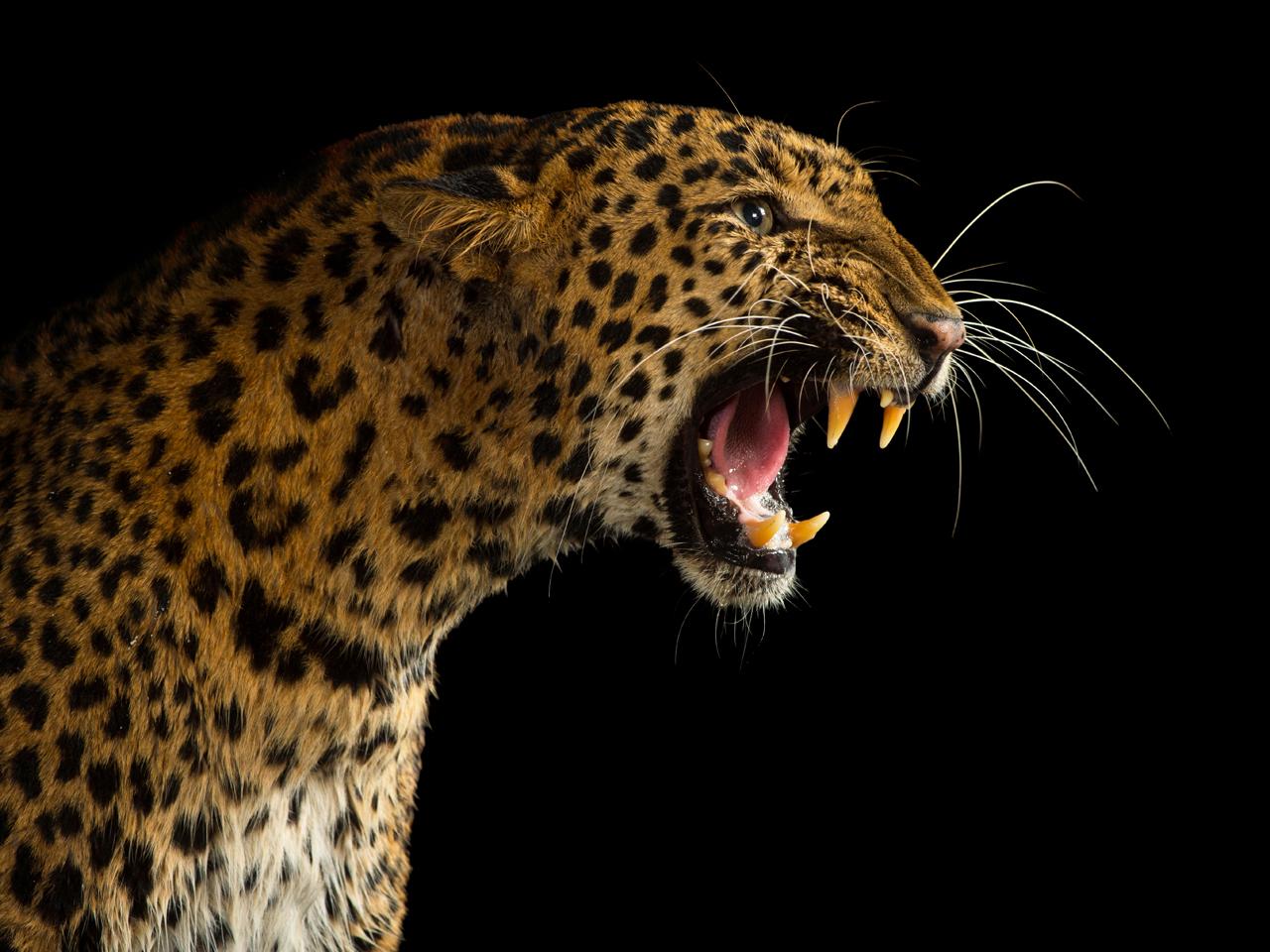 india leopards kill children